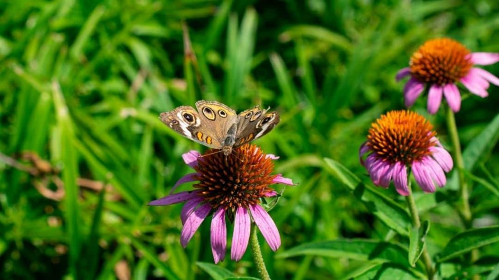 echinacea plant with butterfly on it - enjoying nature for spring break
