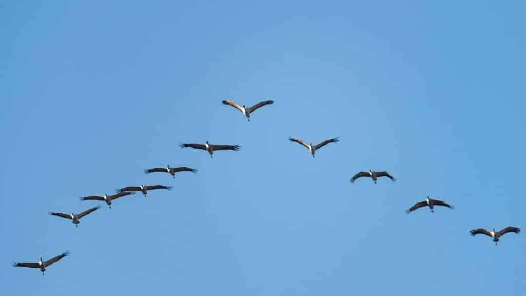 migrating geese photo for winter animals migration lessons
