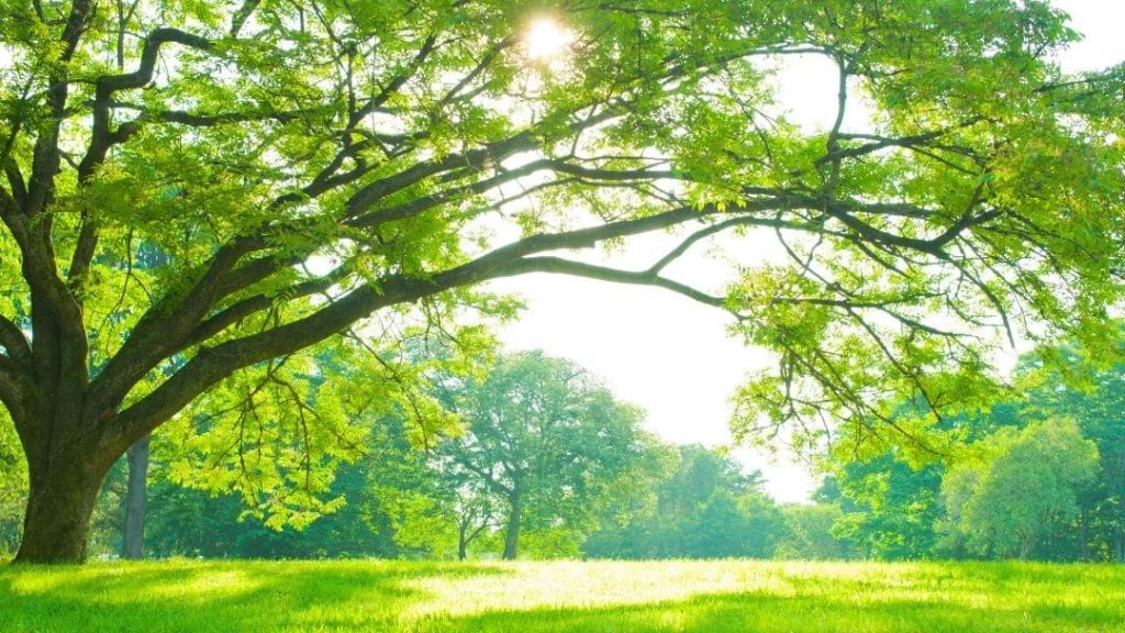 a huge tree in an open field - parks are a great idea for a spring break staycation