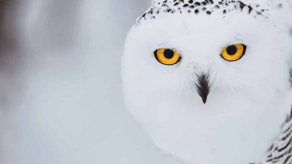 snowy owl with electric yellow eyes